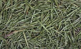 landscaping with pine needles